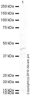 Western blot - CCR7 antibody (ab1657)