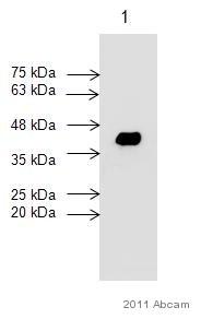 Western blot - Cardiac Troponin T antibody [7G7] (ab10223)