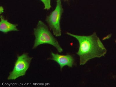 Immunocytochemistry/ Immunofluorescence - Anti-CKII alpha antibody (ab10466)