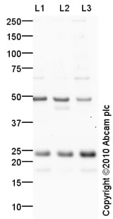 Western blot - HP1 gamma antibody (ab10480)