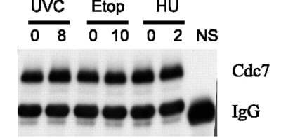 Western blot - Anti-Cdc7 Kinase antibody [DCS-341] (ab10535)