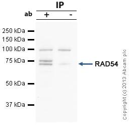 - Anti-RAD54 antibody (ab10705)