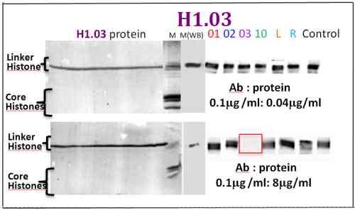 Western blot - Histone H1.03 antibody - ChIP Grade (ab100946)