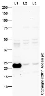 Western blot - Tmem18 antibody (ab100954)