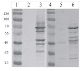 Western blot - GAG antibody (ab100970)