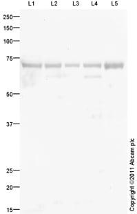 Western blot - IGF2BP1 antibody (ab100999)