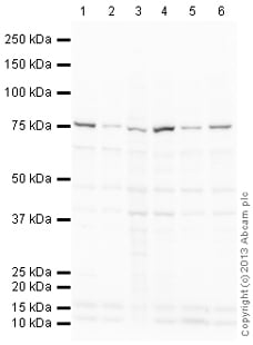 Western blot - Anti-NOX1 antibody (ab101027)