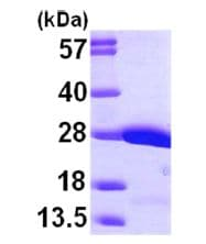 SDS-PAGE - Crk p38 protein (ab101046)