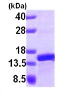 SDS-PAGE - PFDN1 protein (ab101047)