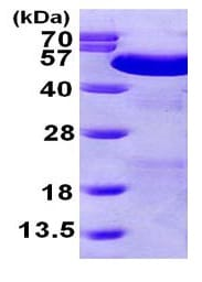 SDS-PAGE - PDIA6 protein (ab101048)