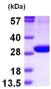 SDS-PAGE - PGLS protein (ab101059)
