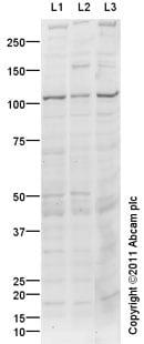 Western blot - Kv2.2 antibody (ab101068)