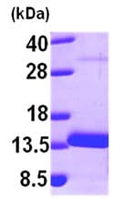 SDS-PAGE - Myotrophin protein (ab101086)