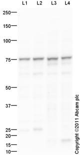 Western blot - KLC4 antibody (ab101190)