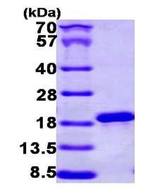 SDS-PAGE - NCBP2 protein (ab101195)