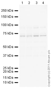 Western blot - NPL4 antibody (ab101226)