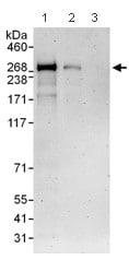 Western blot - Mupp1 antibody (ab101277)