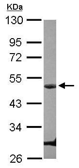 Western blot - Cyclin E1 antibody (ab101324)