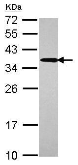 Western blot - UBC3B antibody (ab101338)