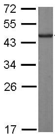 Western blot - Anti-SLD5 antibody (ab101346)