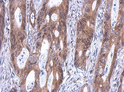 Immunohistochemistry (Formalin/PFA-fixed paraffin-embedded sections) - Anti-SLD5 antibody (ab101346)