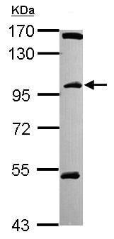 Western blot - C18orf34 antibody (ab101363)