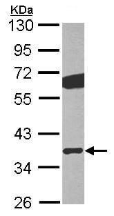 Western blot - GNB2 antibody (ab101367)
