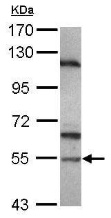 Western blot - SPAG6 antibody (ab101372)
