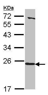 Western blot - HEBP1 antibody (ab101378)