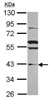 Western blot - VPS36 antibody (ab101379)