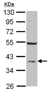 Western blot - AKR1D1 antibody (ab101393)