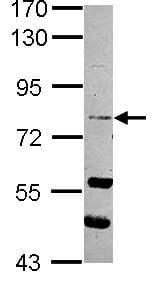 Western blot - RASEF antibody (ab101397)