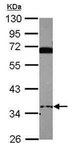 Western blot - EID3 antibody (ab101411)