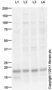 Western blot - MMS2 antibody (ab101475)