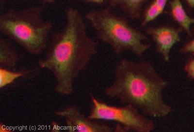 Immunocytochemistry/ Immunofluorescence - MMS2 antibody (ab101475)