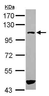 Western blot - ASAP3 antibody (ab101482)