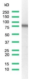 Western blot - CD44 antibody [SP37] (ab101531)
