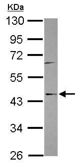 Western blot - C9orf114 antibody (ab101582)