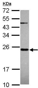 Western blot - MRPS23 antibody (ab101627)