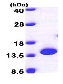 SDS-PAGE - PTRH2 protein (ab101645)