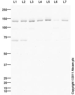 Western blot - Anti-HAUSP / USP7 antibody (ab101648)