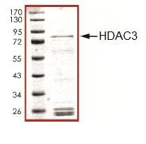 SDS-PAGE - HDAC3 protein (Active) (ab101663)