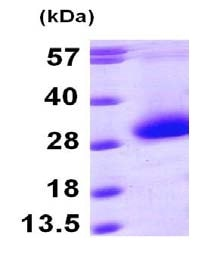 SDS-PAGE - CDKN3 protein (ab101667)