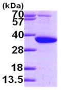 SDS-PAGE - PYCR1 protein (ab101948)