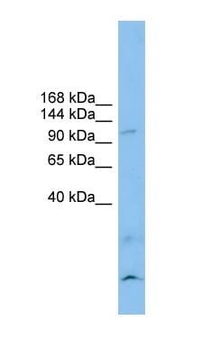 Western blot - CLSTN3 antibody (ab101955)