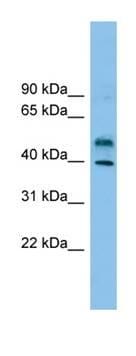 Western blot - ZNF784 antibody (ab101966)