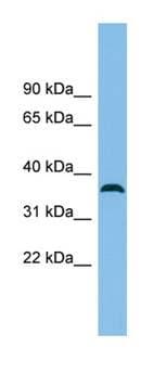 Western blot - C18orf25 antibody (ab101971)