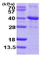 SDS-PAGE - SIRT2 protein (ab102024)