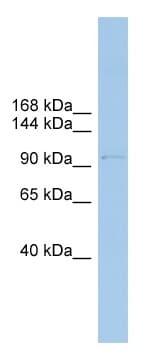 Western blot - COPG antibody (ab102044)