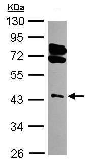 Western blot - RING1 antibody (ab102469)